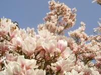 Foto 20 - Magnolien in Rott