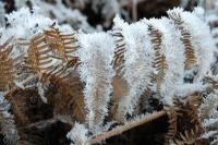 Foto 38 - Farnfrost im Dicken Bruch