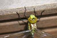 Foto 11 - Bald bin ich eine Libelle