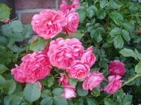 Foto 18 - Rosen schon im Mai